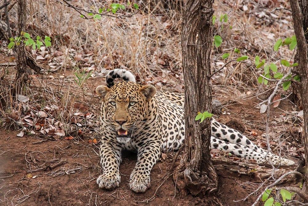 Secret Africa - Interesting Facts About Leopards