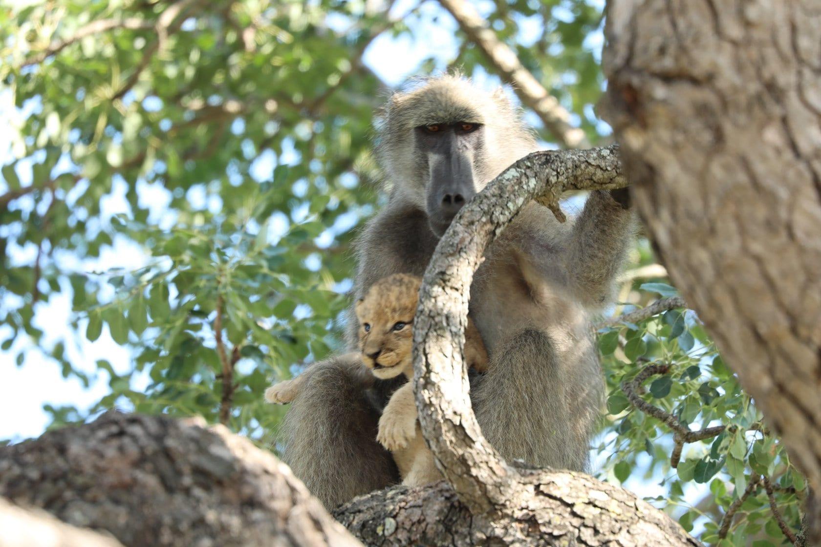 Male Baboon Steals Lion Cub Kruger National Park 009